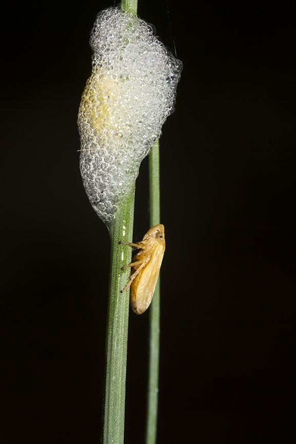 Schaumzikade -  - Cicadoidea - Zikaden - cicadas