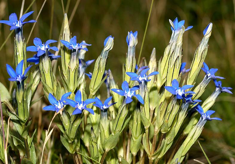 Gentiana nivalis - Schnee-Enzian - Fam. Gentianaceae - Alpine Rasen - alpine grassland