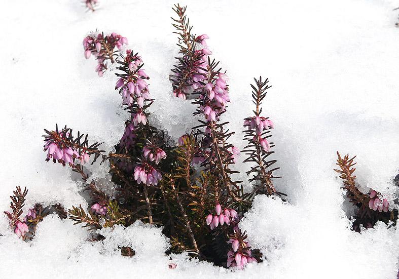 Erica carnea - Schneeheide - Fam. Ericaceae - Wald - forest