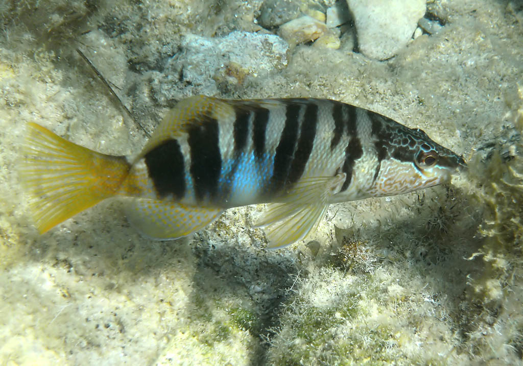 Serranus scriba - Schriftbarsch -  - Pisces - Fische - fish