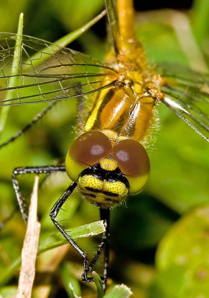 Sympetrum danae - Schwarz Heidelibelle (Weibchen) - Fam. Libellulidae - Segellibellen - Anisoptera - Großlibellen - dragonflies