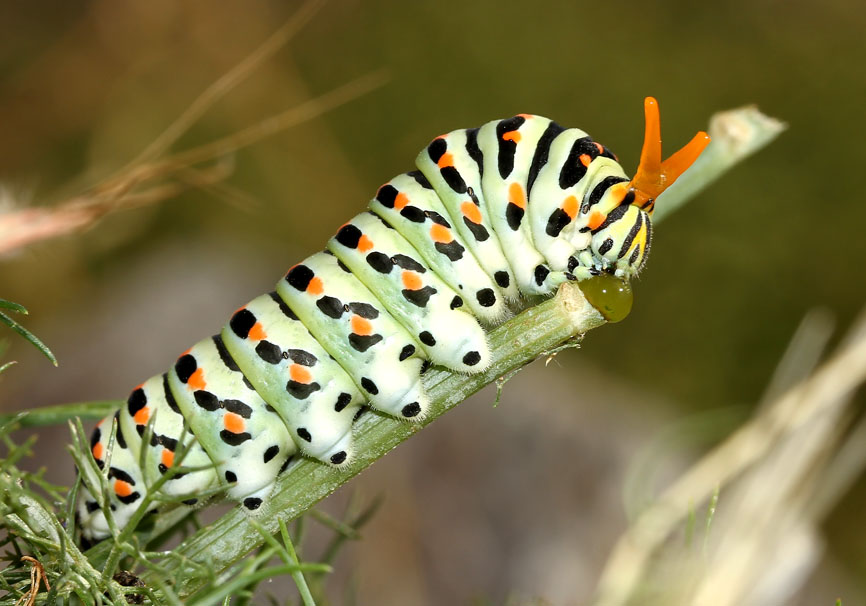 Papilio machaon - Schwalbenschwanz - Serifos - Papilionidae - Ritterfalter - swallowtail butterfly