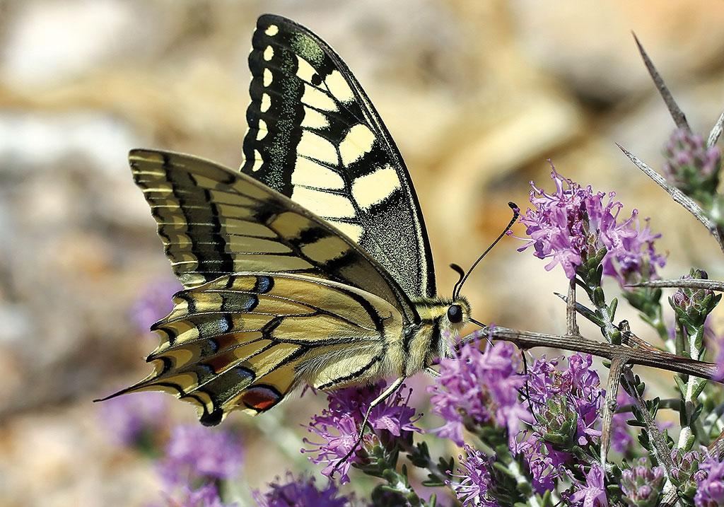 Papilio-machaon - Schwalbenschwanz - Folegandros - Papilionidae - Ritterfalter - swallowtail butterfly