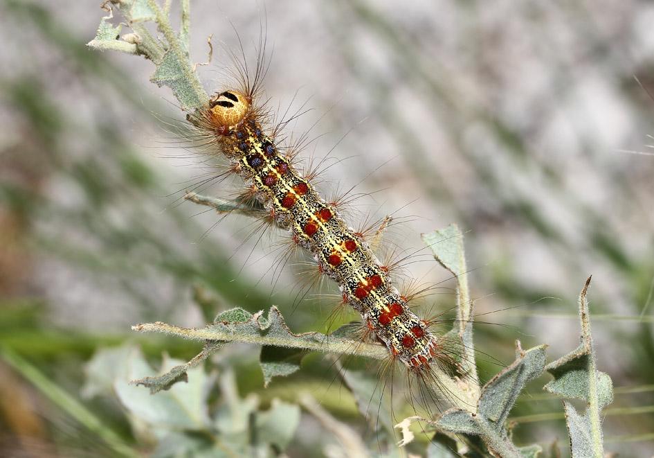 Schwammspinner - Lymantria dispar - Fam.  Erebidae/Lymantriinae   -  Lesbos - Raupen - Caterpillars