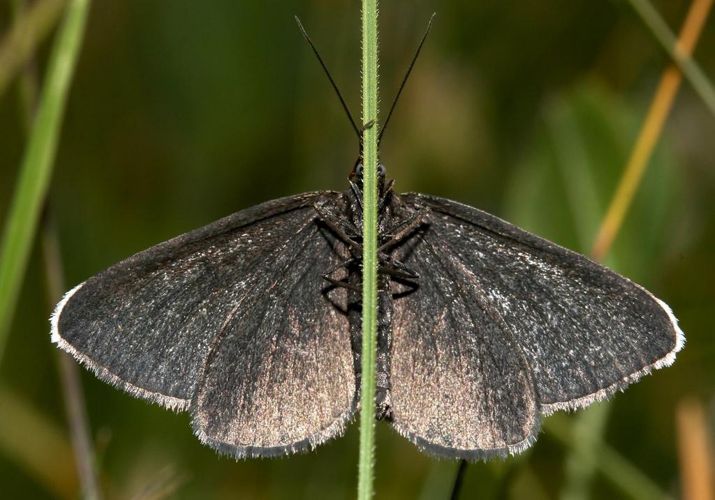 Odezia atrata - Schwarzspanner -  - Geometridae - Spanner - geometer moths