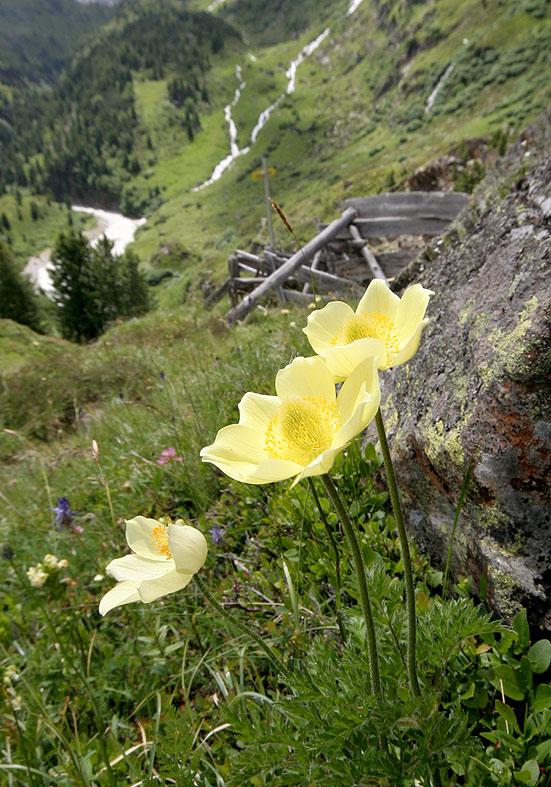 Pulsatilla alpina apiifolia - Schwefelanemone - Fam. Ranunculaceae - Alpine Rasen - alpine grassland