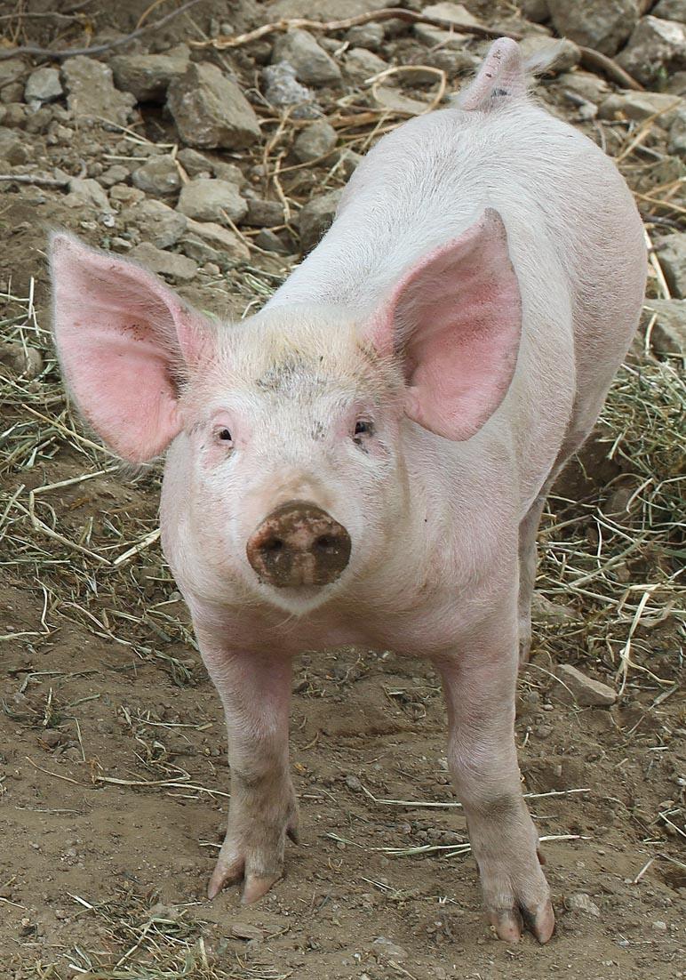 glückliches Schwein - Tinos - Haustiere - domestic animals