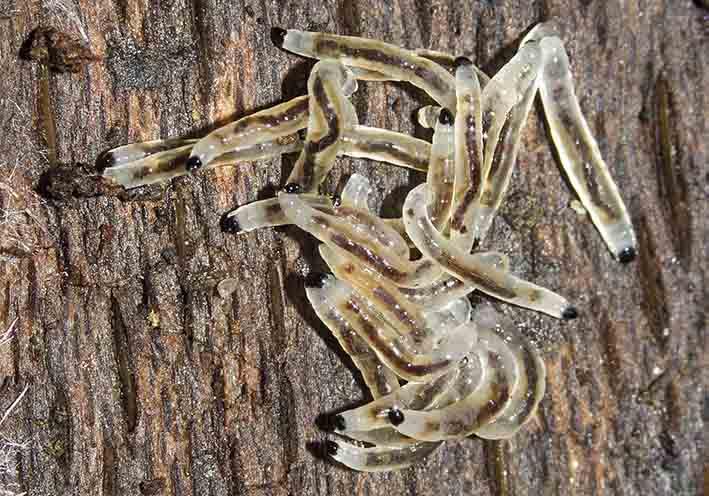 Sciaridae - Trauermücken -  - Dipteren-Larven