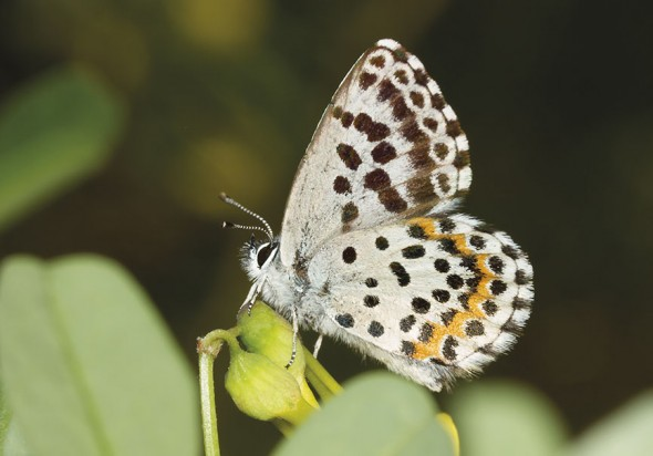 Scolitantides orion - Fetthennen-Bläuling -  - Lycaenidae - Bläulinge - gossamer-winged butterflies