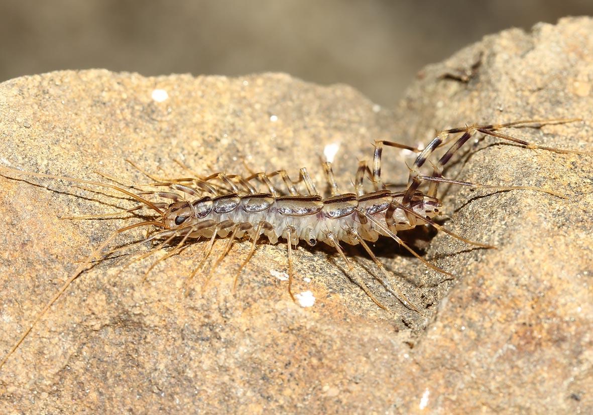 Scutigera coleoptrata - Spinnenläufer - Toscana - Myriapoda - Tausenfüßer - millipeds, centipeds