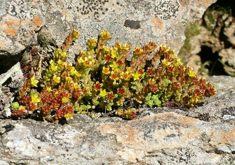 Sedum  annuum - Einjähriger Mauerpfeffer - Fam. Grassulaceae - Fels - rocks