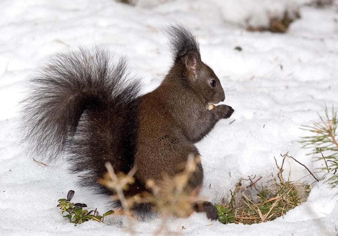 Sciurus vulgaris - Eichhörnchen -  - Rodentia - Nagetiere - rodents