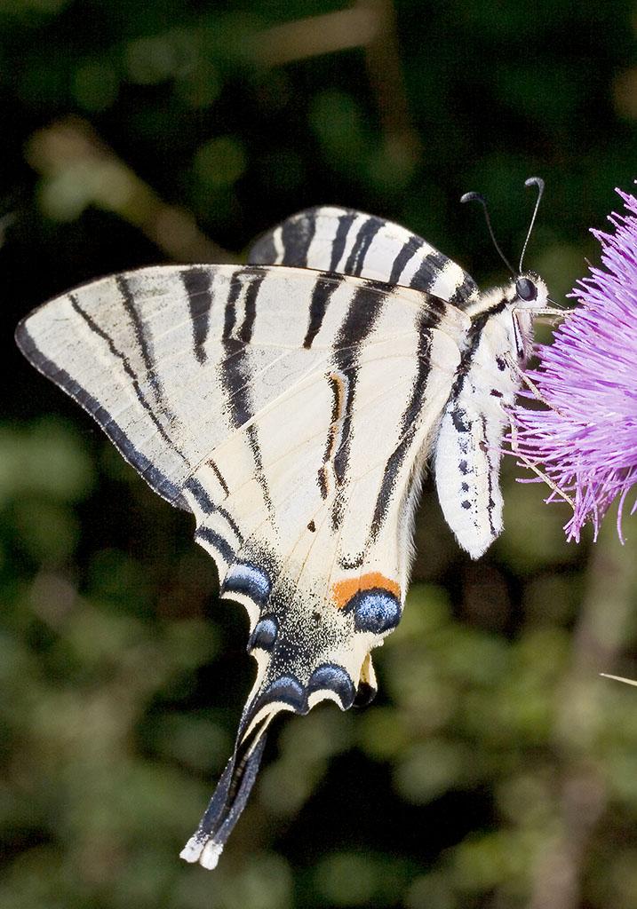Iphicilides podalirius - Segelfalter - Kroatien - Papilionidae - Ritterfalter - swallowtail butterfly