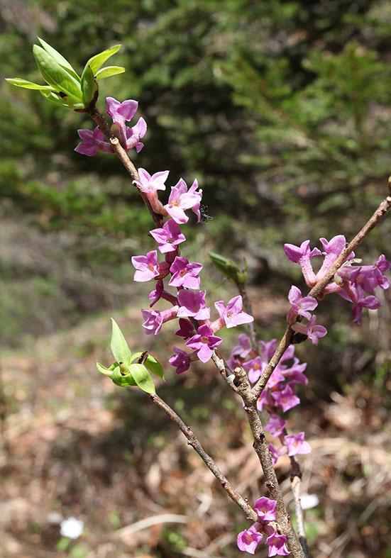 Daphne mezereum - Seidelbast  - Fam. Thymelaeaceae - Wald - forest