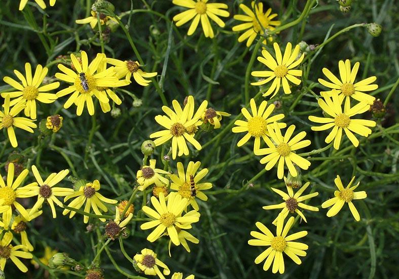 Senecio inaequidens  - Schmalblättriges Greiskraut - Fam. Asteraceae - Neophyten - neophytes
