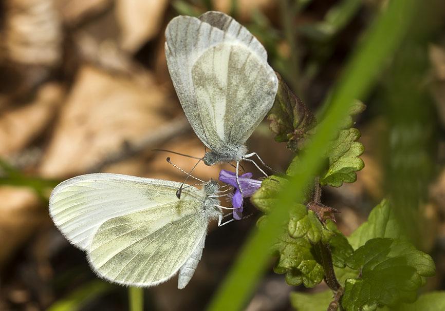 Senfweißling - Leptidea cf. sinapis -  - Pieridae - Weißlinge - whites