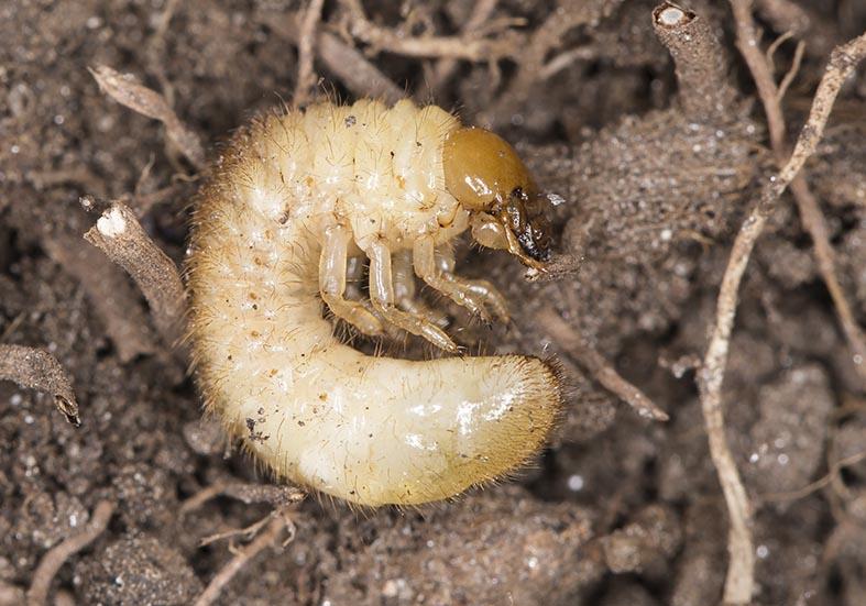 Serica brunnea - Brauner Laubkäfer - Fam. Melolonthidae - Scarabaeoidea - Blatthornkäfer - scarab beetles