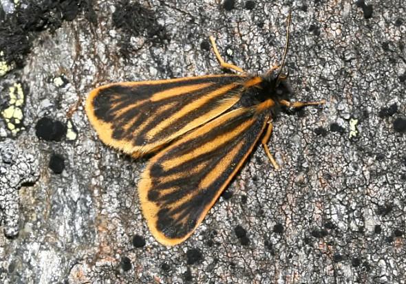 Setina aurita - Flechtenbär -  - Arctiinae - Bärenspinner