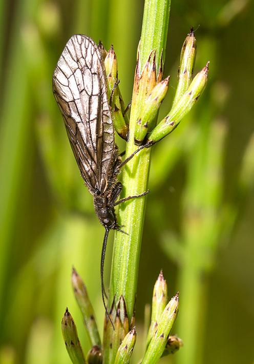 Sialis lutaria - Schlammfliege - Fam. Sialidae - Schlammfliegen - Megaloptera - Großflügler
