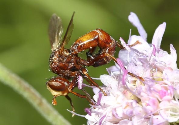 Sicus ferrugineus - Gemeine Breitstirnblasenkopffliege -  - Brachycera (Fliegenartige) - Aschiza