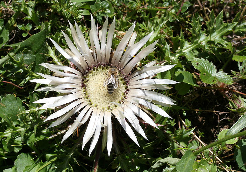 Carlina acaulis - Silberdistel - Fam. Asteraceae - Weiden - pastures