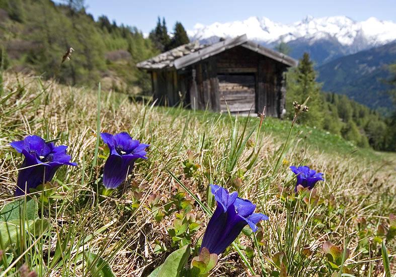 Gentiana acaulis - Silikat-Glockenenzian - Fam. Gentianaceae - Alpine Rasen - alpine grassland