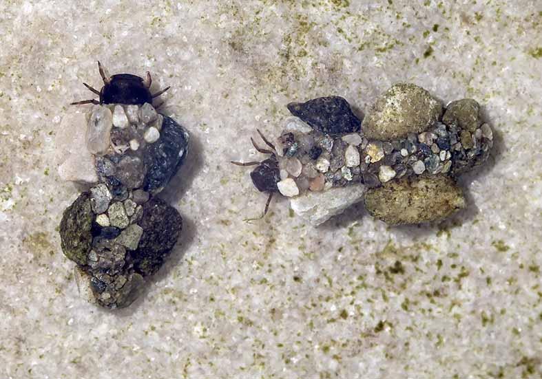 Silo nigricornis -  - Trichoptera - Köcherfliegen - daddisflies