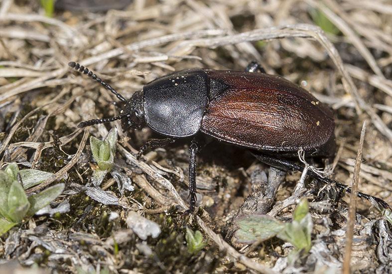 Silpha tyrolensis - Fam. Silphidae - Aaskäfer - weitere Käferfamilien - other beetle families