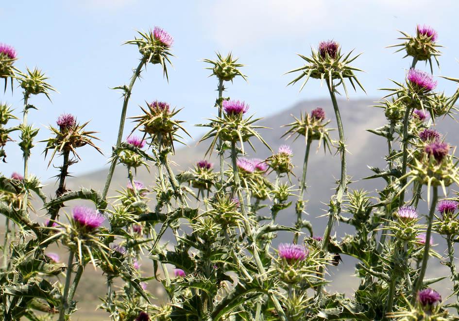 Silybum marianum - Mariendistel -  - Ruderal vegetation