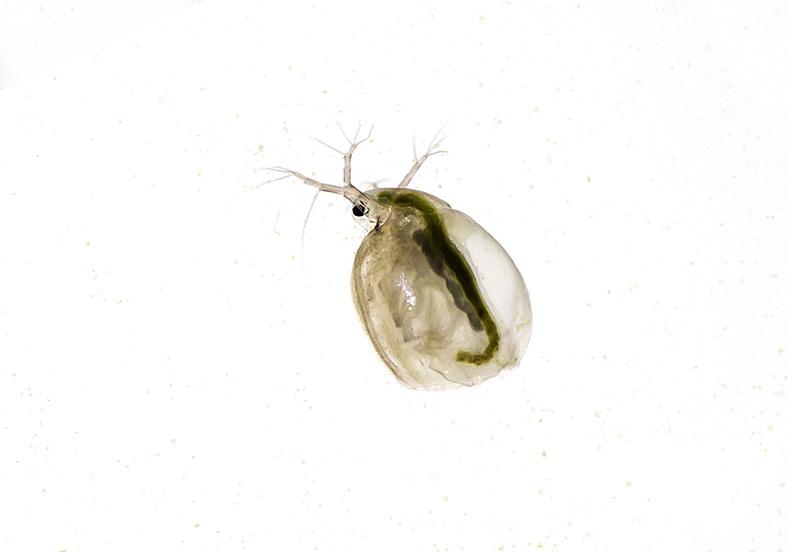 Simocephalus sp -  - Aquatische Krebstiere - aquatic crustacea