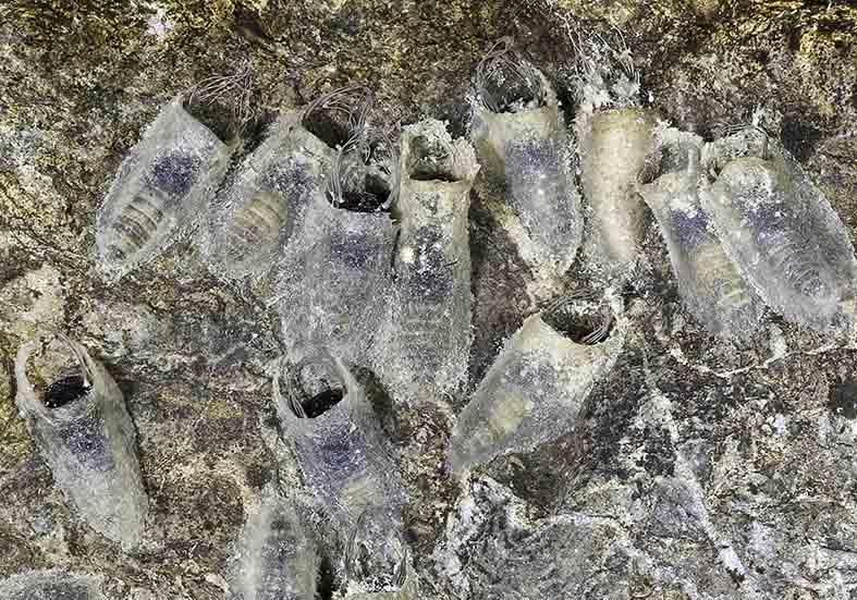 Simulium argyreatum (Puppen) - Fam. Simuliidae - Kriebelmücken - aquatische Dipteren-Larven