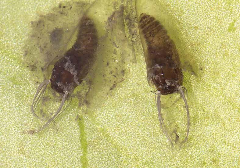 Simulium ornatum (Puppen) - Fam. Simuliidae - Kriebelmücken - aquatische Dipteren-Larven