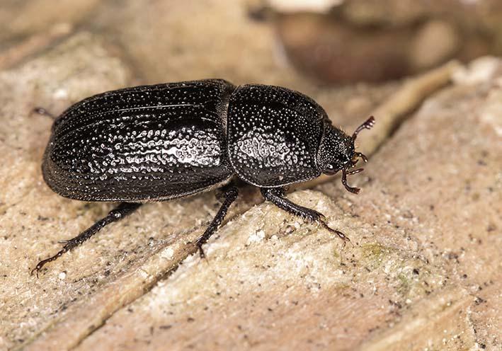 Sinodendron cylindricum - Kopfhornschröter - Weibchen (female) - Lucanidae - Schröter - stag beetles