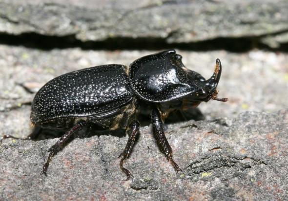 Sinodendron cylindricum - Kopfhornschröter - Männchen (male) - Lucanidae - Schröter - stag beetles