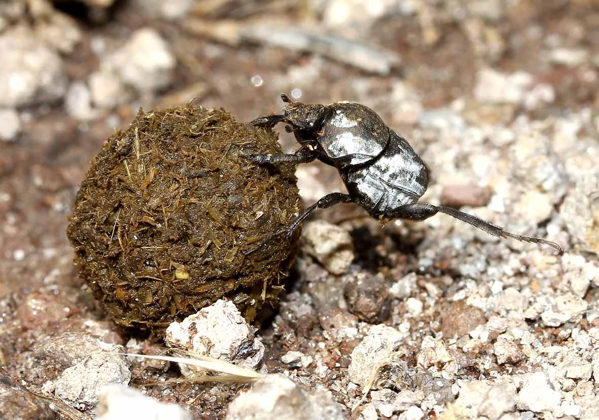Sisyphus schaefferi - Fam. Scarabaeidae  - Lesbos - Scarabaeidea - Blatthornkäfer - scarab beetles