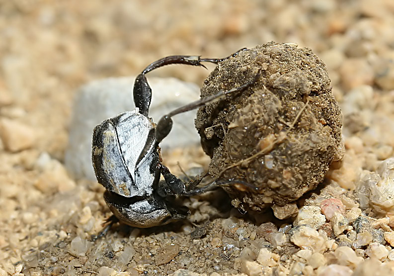 Sisyphus schaefferi - Fam. Scarabaeidae  - Kos - Scarabaeidea - Blatthornkäfer - scarab beetles