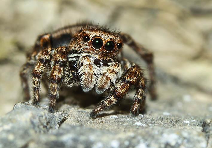 Sitticus rupicola  - Fam. Saltacidae - Springspinnen - Araneae - Webspinnen - orb-weaver spiders