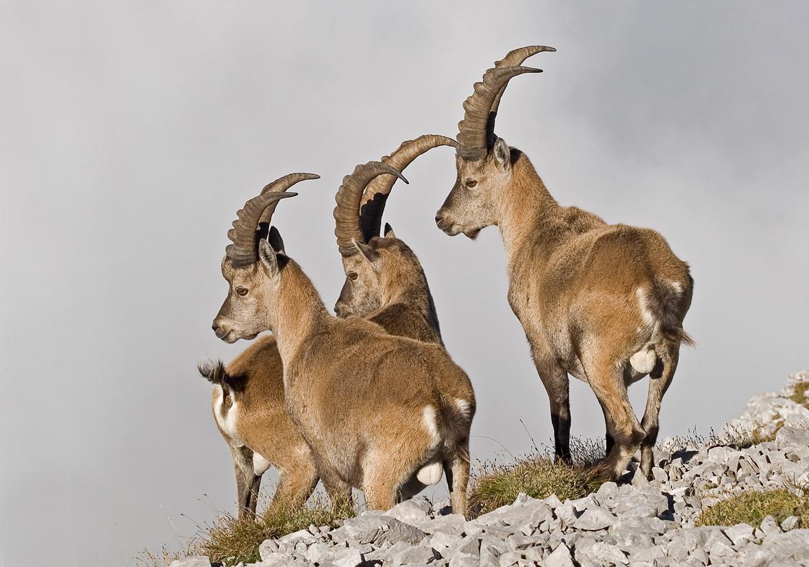 Capra ibex - Alpensteinbock - Karwendel - Artiodactyla - Paarhufer - even-toed ungulates