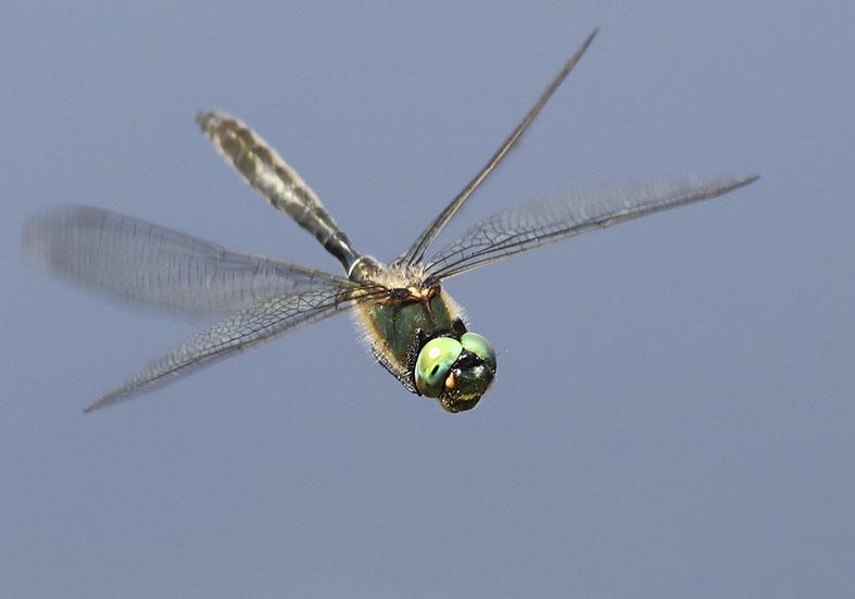 Somatochlora alpestris - Alpen-Smaragdlibelle - Fam. Corduliidae - Falkenlibellen - Anisoptera - Großlibellen - dragonflies