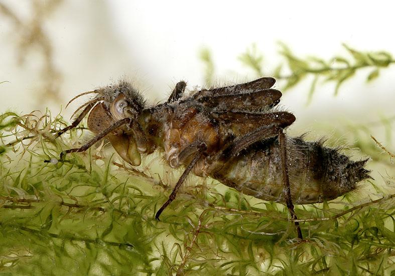 Somatochlora alpestris - Alpen-Smaragdlibelle Larve - Fam. Corduliidae - Falkenlibellen - Anisoptera - Großlibellen - dragonflies