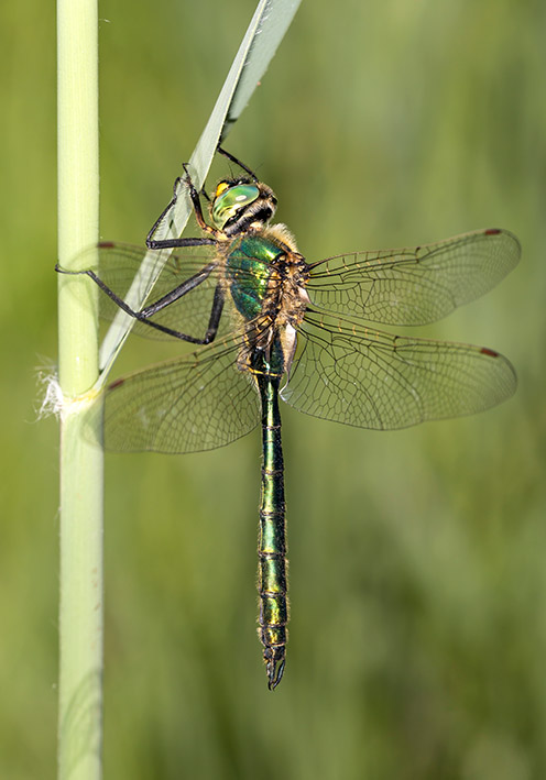 Somatochlora metallica - Glänzende Smaragdlibelle - Fam. Corduliidae - Falkenlibellen - Anisoptera - Großlibellen - dragonflies