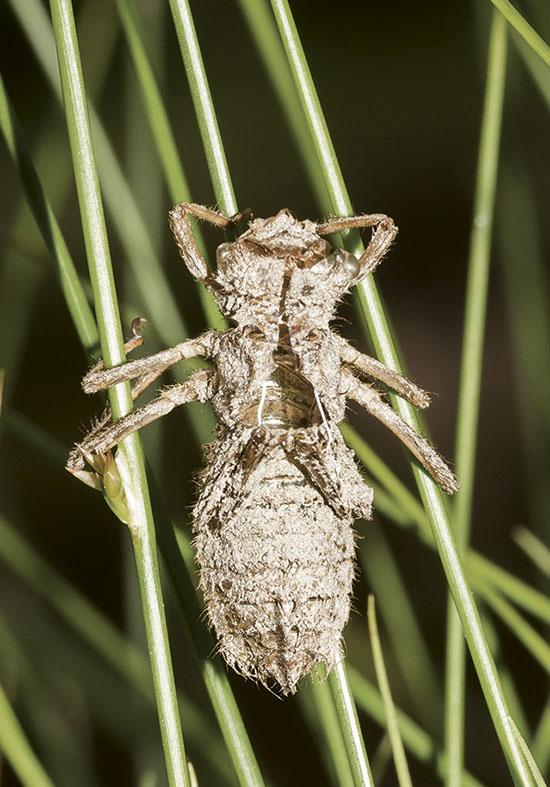 Somatochlora sp. Exuvie - Fam. Corduliidae - Falkenlibellen - Anisoptera - Großlibellen - dragonflies