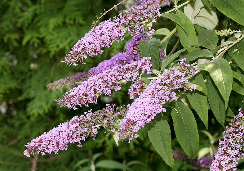 Buddleja davidii - Sommerflieder - Fam. Buddlejaceae - Neophyten - neophytes