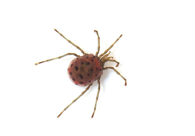 Sperchon brevirostris - Quellmilbe - Fam. Hydrachnidiae - Acari - Milben - mites