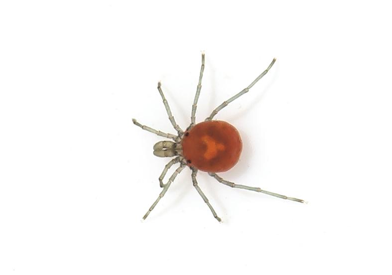 Sperchon cf. denticulatus - Quellmilbe - Fam. Hydrachnidiae - Acari - Milben - mites