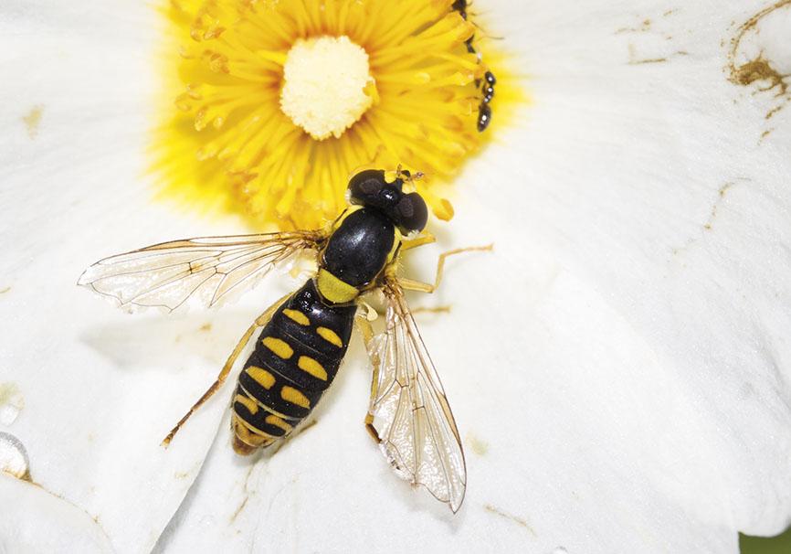 Sphaerophoria menthastri - Fam. Syrphidae - Schwebfliegen - Brachycera (Fliegenartige) - Aschiza