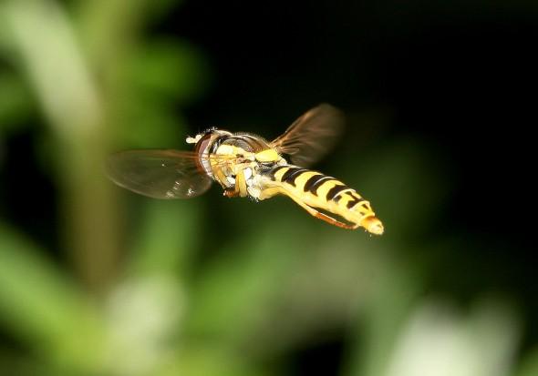 Sphaerophoria script - Gemeine Stiftschwebfliege - Fam. Syrphidae - Schwebfliegen - Brachycera (Fliegenartige) - Aschiza