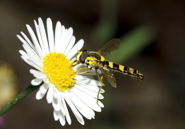 Sphaerophoria scripta (male) - Gemeine Stiftschwebfliege - Fam. Syrphidae - Schwebfliegen - Brachycera (Fliegenartige) - Aschiza