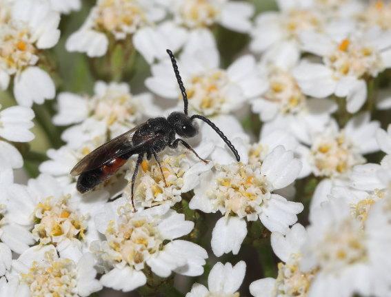 Sphecodes monilicornis - Blutbiene - Männchen - male - Apiformes - Halictidae - Bienen - bees