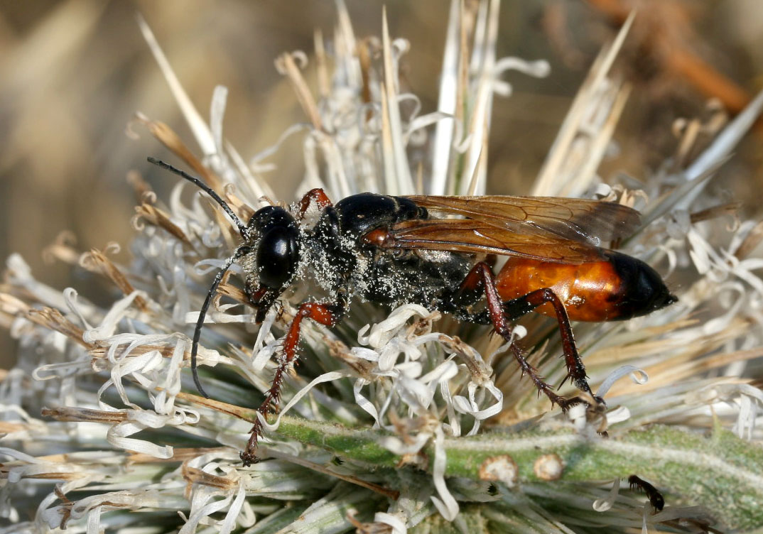 Sphex flavipennis group - Heuschrecken-wegwespe - Serifos - Sphecidae - Grabwespen - thread-waisted wasps